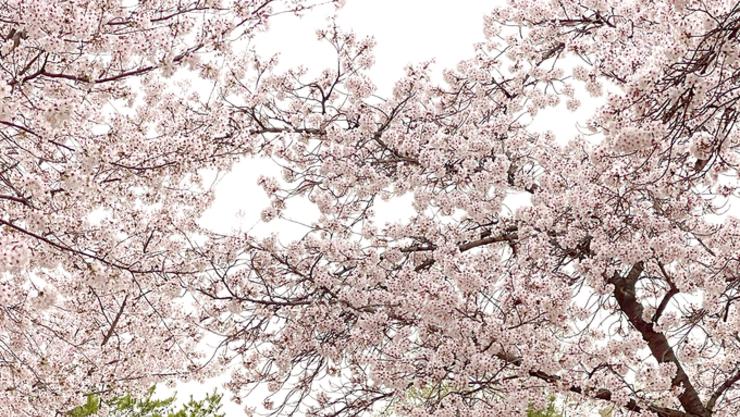벚꽃은 지더라도 우리 우정 영원히